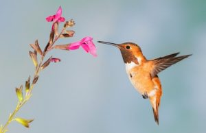 Hummingbird Bird Nature Wildlife Flowers Nectar